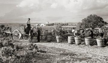 La verema del 2018, 75 anys destinats a l'elaboració de cava