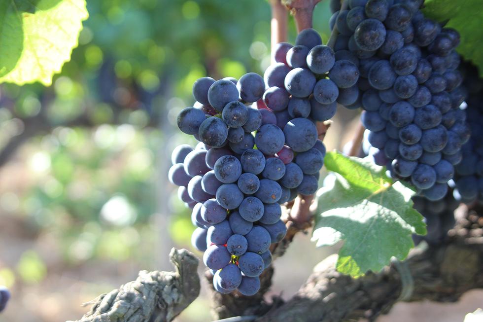 Tot el producte que utilitzem en la producció de vins i espumosos pertany a la Finca de la Boadella